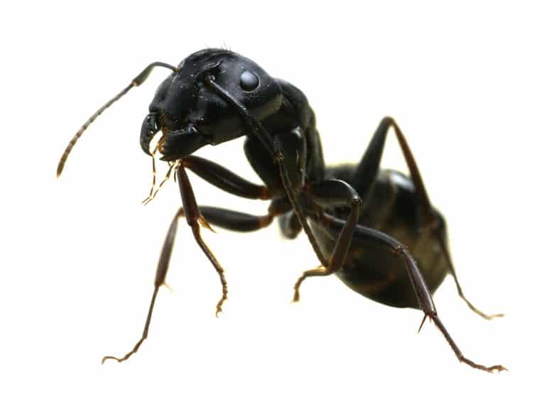 Carpenter Ants: Looking for a Home