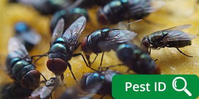 Flies Cluster Flies Drain Flies Fruit Flies Fungus Gnats Blow Flies