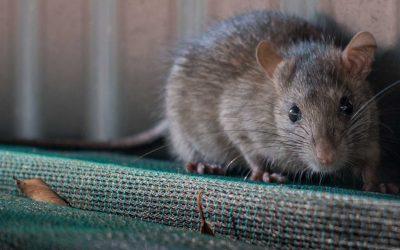 Got Mice?