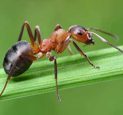 Pest Control - Ford's Hometown Services - Ant Control
