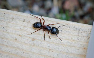 Carpenter Ant Season is Here