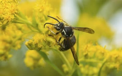 What's the Difference Between Yellow Jackets and Bald faced Hornets?